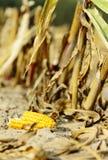 Maíz como biomasa Fotografía de archivo