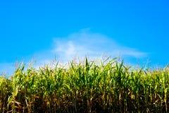 Maíz de campo contra el cielo Imagen de archivo
