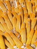 Maíz de la cosecha Imagen de archivo libre de regalías