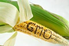 Maíz de la OGM Imagen de archivo libre de regalías