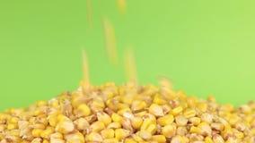 Maíz de los granos que cae en el montón del maíz en una pantalla verde metrajes