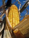 Maíz de oro en el campo de maíz foto de archivo