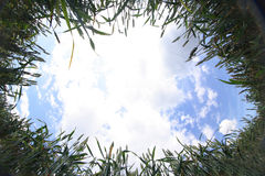 Maíz de oro y cielo azul fotografía de archivo libre de regalías