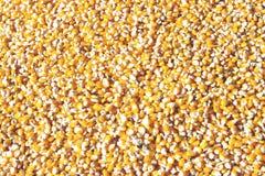 Maíz de semillas Foto de archivo libre de regalías