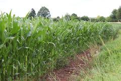 Maíz del Clementing Maduración del sector agrario de la cosecha futura de la industria agrícola Granja de la planta Crecimiento d fotografía de archivo libre de regalías