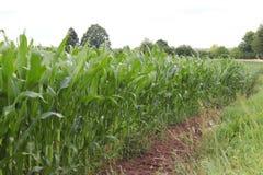 Maíz del Clementing Maduración del sector agrario de la cosecha futura de la industria agrícola Granja de la planta Crecimiento d foto de archivo