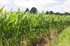 Maíz del Clementing Maduración del sector agrario de la cosecha futura de la industria agrícola Granja de la planta Crecimiento d imagenes de archivo