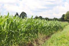 Maíz del Clementing Maduración del sector agrario de la cosecha futura de la industria agrícola Granja de la planta Crecimiento d fotos de archivo libres de regalías