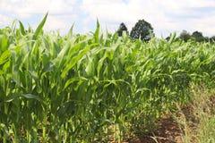 Maíz del Clementing Maduración del sector agrario de la cosecha futura de la industria agrícola Granja de la planta Crecimiento d imágenes de archivo libres de regalías