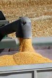 Maíz del grano que fluye en tolva imagenes de archivo