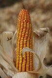 Maíz del maíz Fotos de archivo