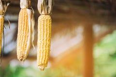 Maíz del maíz con el fondo de la falta de definición Imágenes de archivo libres de regalías