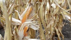 Maíz dulce con la seda del maíz en el viento