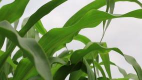 Maíz dulce orgánico que crece en el campo almacen de metraje de vídeo