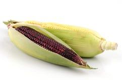 Maíz dulce (Zea mayos L.) y morado de Maiz (maíz de harina, amylacea de mayos del Zea) Foto de archivo