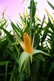 Maíz en el campo, corncob Foto de archivo libre de regalías