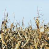 Maíz en la cosecha Fotografía de archivo libre de regalías