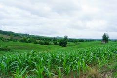 Maíz en la estación de lluvias agricultura en la estación de lluvias y el corazón Fotografía de archivo