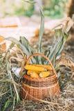 maíz en la mazorca en una cesta en una granja Foto de archivo