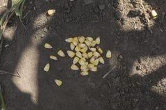 Maíz en la tierra negra Visión desde arriba sowing Imagen de archivo