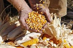 Maíz en las manos del granjero Foto de archivo libre de regalías