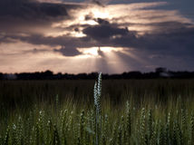 Maíz en puesta del sol Imagen de archivo libre de regalías
