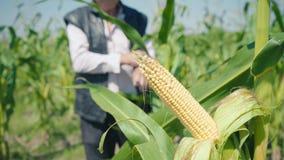 Maíz en un tallo verde en un campo de maíz La mazorca de maíz amarilla todavía no se ha rasgado del tallo almacen de metraje de vídeo