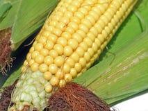 maíz fresco Imagen de archivo libre de regalías