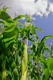 Maíz, maíz dulce foto de archivo libre de regalías