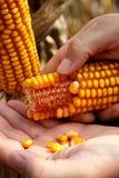 Maíz - maíz en la mano Imagen de archivo libre de regalías