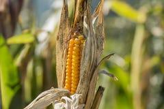 Maíz maduro en el tallo en el campo, agricultura Imagen de archivo