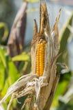 Maíz maduro en el tallo en el campo, agricultura Foto de archivo