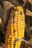 maíz maduro fungoso Fotos de archivo libres de regalías