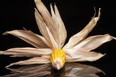Maíz, mazorca, amarillo, decoración, aún vida, eleganc Foto de archivo libre de regalías
