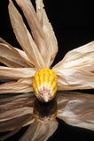 Maíz, mazorca, amarillo, decoración, aún vida, eleganc Fotografía de archivo libre de regalías