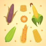 Maíz orgánico aislado en el fondo blanco Verdura de la granja de la agricultura para el vector de las palomitas Mazorca de maíz c Fotografía de archivo libre de regalías