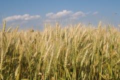 Maíz para la cosecha - detalle foto de archivo libre de regalías