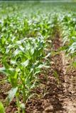 Maíz verde fresco en verano en verdura de la agricultura del campo foto de archivo libre de regalías