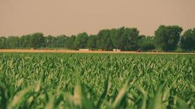Maíz verde, joven en el campo por mañana del comienzo del verano almacen de metraje de vídeo
