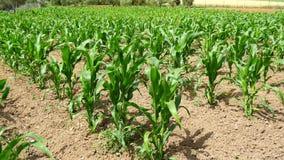 Maíz verde (maíz) que crece en el campo durante la primavera (4K) metrajes