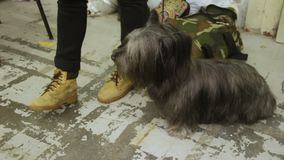 Maître affectueux choyant Skye Terrier mignon à l'amitié d'exposition canine, d'homme et d'animal banque de vidéos
