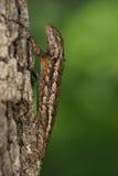 Maître de camouflage (lézard épineux) Image libre de droits