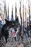 Maître de forêt d'hiver images stock