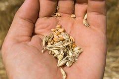 Maïs à disposition Images stock