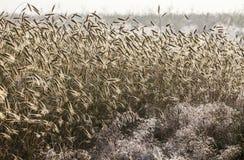Maïs à l'aube Photographie stock libre de droits