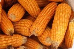 Maïs également connu sous le nom de maïs photo libre de droits