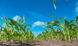 Maïs Stock Afbeelding