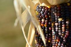 maïs Stock Foto's