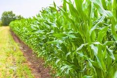maïs royalty-vrije stock afbeelding