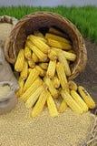 maïs royalty-vrije stock fotografie